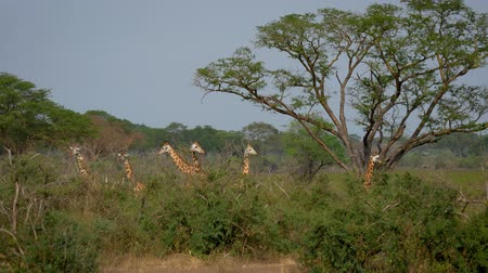 akacja : Herd Wild Giraffes Is In The Green Thickets Of The Jungle Wideo