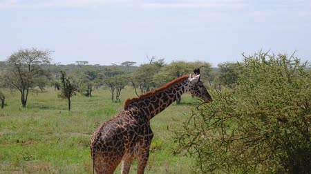 câmara : Young Giraffe In Bushes With Thorns Grazing Leaves In The Wild African Savannah