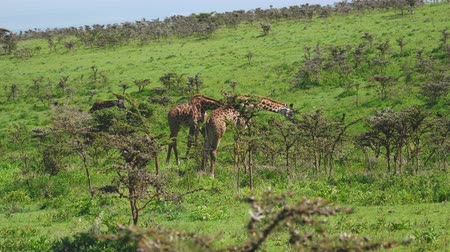 giraffa : Giraffes On A Hill In Bushes With Thorns Grazing Leaves In Wild African Savannah