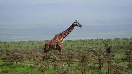 mastigação : Side View Of Giraffe Standing On A Hill Among Bushes With Thorns In Wild African