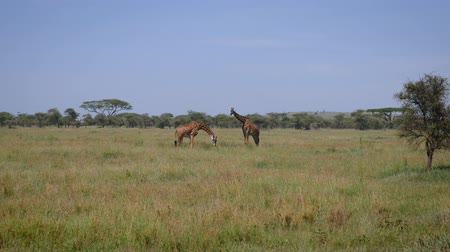 akacja : Two Giraffes Grazing In A Pasture In The African Savannah