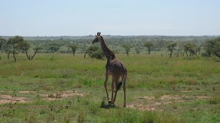 câmara : Young Giraffe Walking On Savannah With Thickets Of Bushes And Thorns In Africa Stock Footage