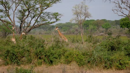 akacja : Herd Wild African Giraffes Is In The Green Bushes Of The Jungle Wideo