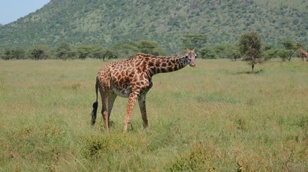 чаща : Wild Giraffe In Grassland Eating Grass Stretching Its Front Legs Out To Sides
