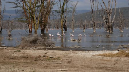 lesser : Flock Of Pink Flamingos In Lake Nakuru Walk Among The Flooded Acacia Trees Stock Footage