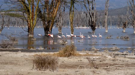 lesser : Flock Of Pink Flamingos In Lake Nakuru Walk Among The Mangroves