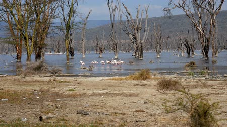 lesser : Flock Of Pink Flamingos In Lake Nakuru Walk Among Submerged Trees And Mangroves Stock Footage