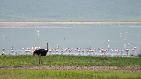 pštros : Wild African Ostrich On The Lake In Which Walks A Lot Of Pink Flamingos