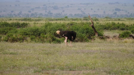 pštros : Ostrich Grazing In The African Savanna Wildlife