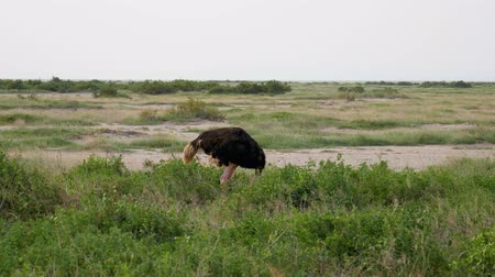 pštros : African Ostrich Grazing In The Pasture Looking Around In Search Of Danger