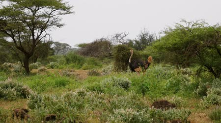pštros : Ostrich Walking In A Thicket Of Bushes And Acacia Trees Of The African Savanna Dostupné videozáznamy