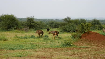 avestruz : Ostriches Grazing On The Pasture Of The African Savannah Stock Footage