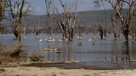 akacja : Flock Of Pink Flamingos Gracefully Walks Long Legs On Water Of Lake In Africa