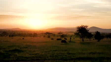 Танзания : African Savannah Landscape At Sunset With Acacia Trees And Grazing Buffalo Стоковые видеозаписи