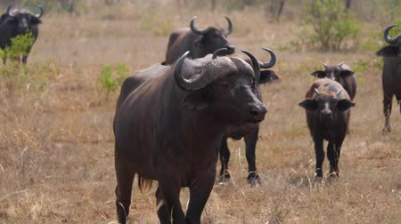 lélegzet : Close Up Of Male Buffalo With His Herd In The Hot Savannah Of Africa In The Wild Stock mozgókép