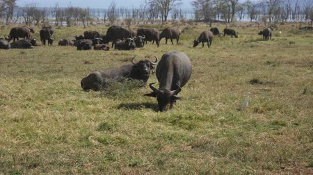 mastigação : Herd Of Buffalo In A Pasture By The Lake In Africa Stock Footage