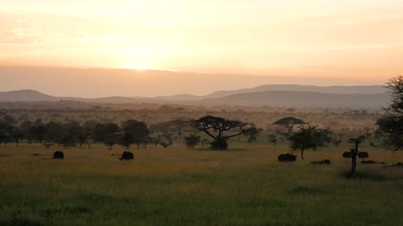 búfalo : African Savannah Landscape At Sunset With Acacia Trees And Grazing Wild Buffalo Stock Footage