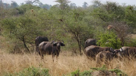 búfalo : Buffalo Graze In The African Savannah Stock Footage