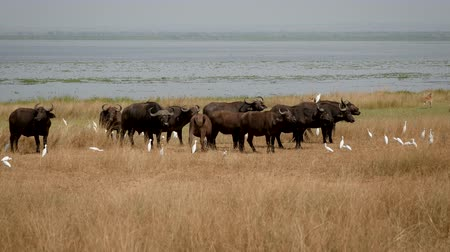 buvol : Herd Of Buffalo On The Lake Shore In The Wild