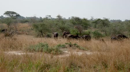 Танзания : Buffalo Graze In The Bushes Of African Savannah Стоковые видеозаписи