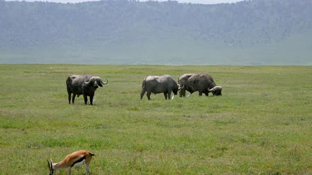 Танзания : Large Powerful Bulls Of Wild Buffalo Grazing On The Plains In Africa