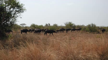búfalo : Large Herd Of Buffalo Walk On Sun Scorched Savannah In Season Of Drought To Pond