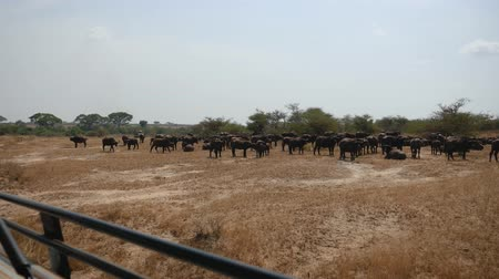 vaca : View From A Safari Car On Herd Of Buffalo In The African Plain With Yellow Grass Vídeos
