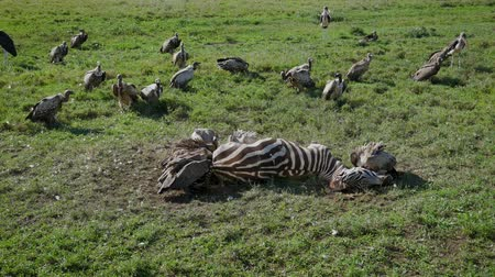 câmara : Flock Of Vultures Eating Carrion From Carcass Of Dead Zebra In Masai Mara Park Stock Footage