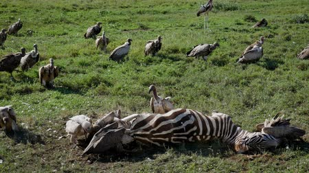 scavenger : Vultures Eat Carrion From The Carcass Of A Dead Zebra In The African Plain