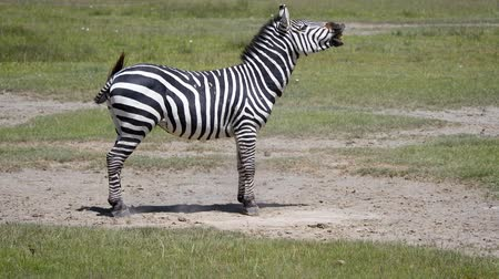 ziewanie : Zebra Lying On The Dusty Ground Then Gets Up And Starts To Laugh Wideo