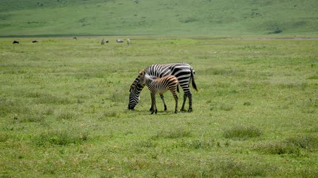 câmara : Zebra With Baby Grazing Grass On The Plains In Africa Stock Footage
