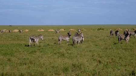 полосатый : A Herd Of Zebras Grazing In A Pasture In The African Plain