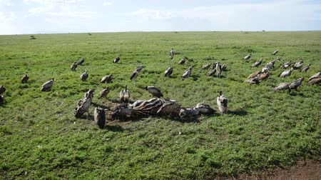 scavenger : Vultures Eat Carrion From The Carcass Of A Dead Zebra In The African Grassland Stock Footage