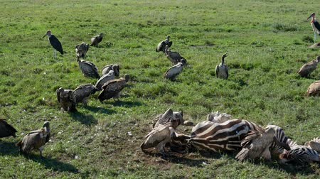 câmara : Vultures Eat Carrion From The Carcass Of A Killed Zebra In The African Plain Stock Footage