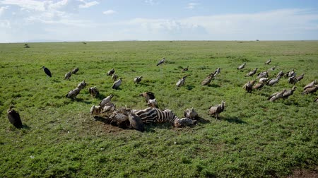 elesett : Flock Of Vultures Eat Carrion From Carcass Of A Killed Zebra In African Plain Stock mozgókép