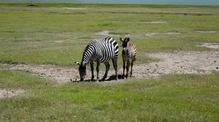 Танзания : Zebra Mom With Baby Grazing Grass On The Plains In Africa Savannah