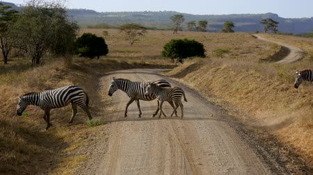 akacja : Zebras Cross Dusty Winding Road In Picturesque African Plain With Beauty Acacia Wideo