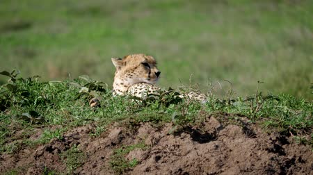 câmara : Cheetah Close Up Lying Resting On Grass In Wild Of Africa Plain Stock Footage