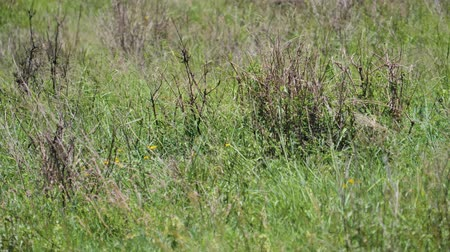 câmara : Wild African Leopard Lurking Hiding From Prey In Tall Grass Of Savannah Stock Footage