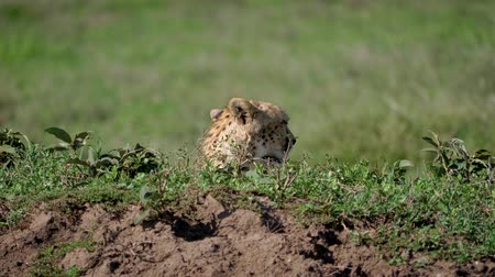 câmara : African Wild Cheetah Sticking His Head Out Of Hiding In The Savannah