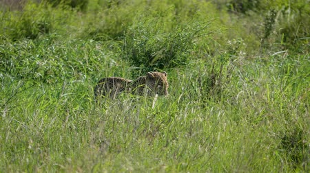 câmara : Wild African Leopard In High Grass Savannah