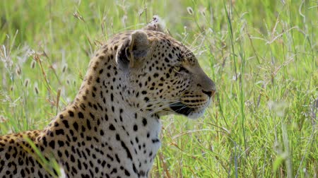 pardus predator : Leopard Closeup In African Savanna With High Grass Turning Head Looking For Prey
