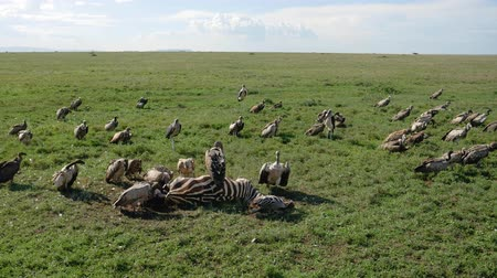 elesett : Flock Of Vultures Eat Meat From Carcass Of Killed Zebra In African Rift Valley