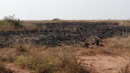 kontrolovány : Burnt Grass Of African Plains In Dry Season In Savannah Wildlife Dostupné videozáznamy