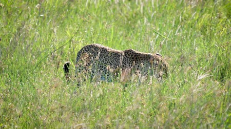 Серенгети : Wild Leopard Walking And Hiding In High Grass Of African Savannah
