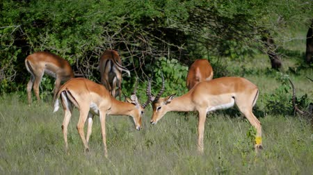 アンテロープ : Two Male Impala Antelope Fighting Each Other For Mates During Rut In Africa