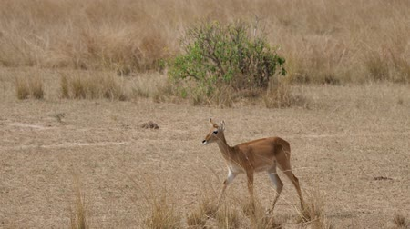antilopa : Female Antelope Impala Walk On African Plains In Dry Season With Dried Grass