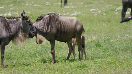 born calf : Wildebeest With Calf Grazing On A Green Plain In The African Savannah
