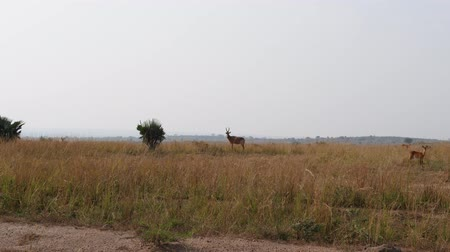 câmara : Wild Antelopes Graze In Dry Season In African Savannah With High Dried Grass
