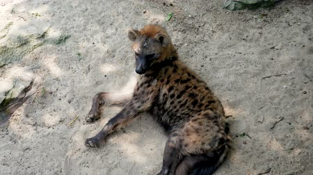 câmara : Well Fed Hyena Lying On Sand In Shade On Hot Day In African Nature Reserve